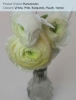 Ranunculus - White, Pink, Burgundy, Peach, Yellow