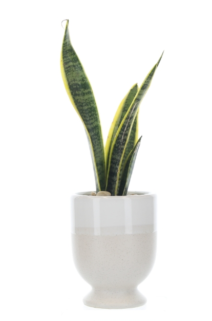 Picture of Sophisticated Snake Plant