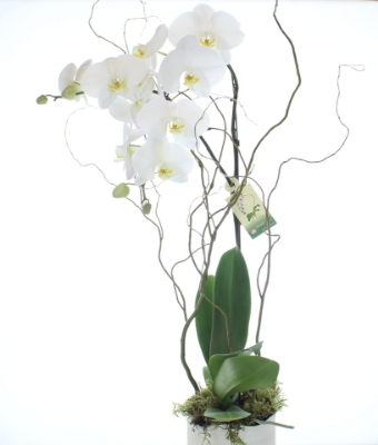 Picture of Elegant Phalaenopsis Orchid Plant